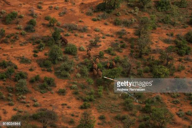 Kenya Wildlife Service helicopter follows a herd of African Savannah elephants during an elephant collaring operation on February 1 2018 in the the...