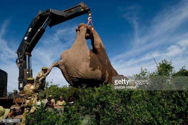 Kenya Wildlife Service lift a tranquillized elephant bull to transport it into an truck at the Lamuria Nyeri county on February 21 2018 during the...