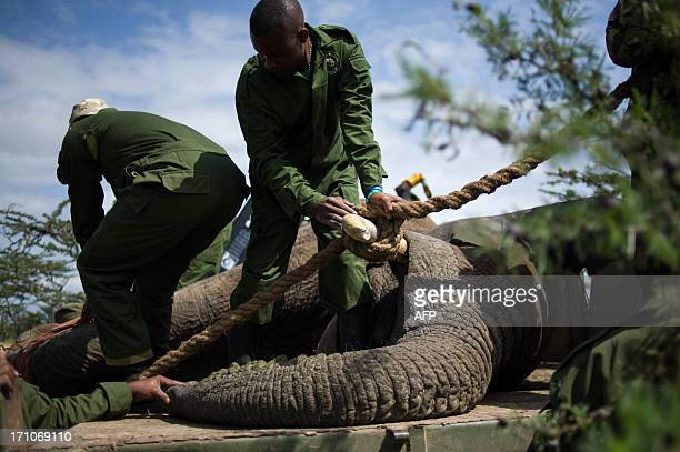 Kenya Wildlife Service officers prepare a sedated elephant to travel on a truck on the edge of the Ol Pejeta conservancy in central Kenya on June 21...