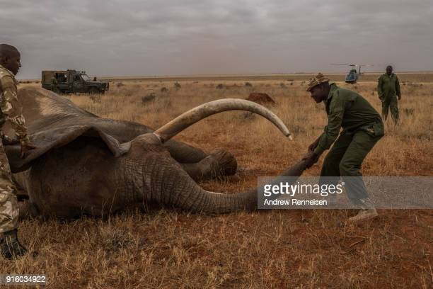 Kenya Wildlife Service ranger moves the trunk of Wide Satao a male African Savannah Elephant during an elephant collaring operation on February 3...
