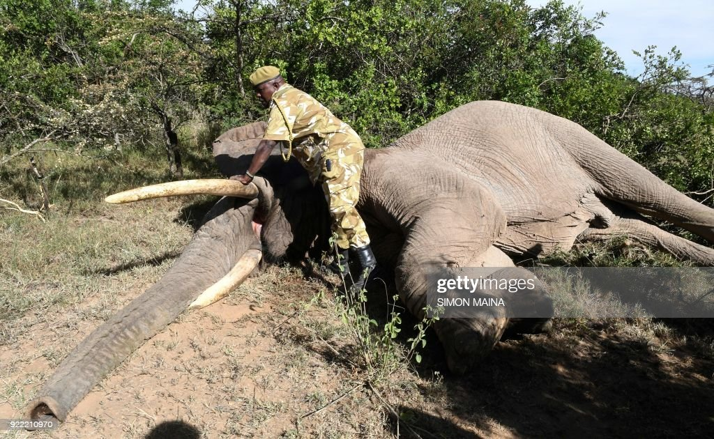 A Kenya Wildlife Service (KWS) ranger stands next to a tranquilized male elephant before it is loaded onto a truck, at Lamuria on Nyeri county on February 21, 2018, during the translocation of elephants from Solio, Sangare and Lewa to northern part of Tsavo East National Park in Ithumba. /
