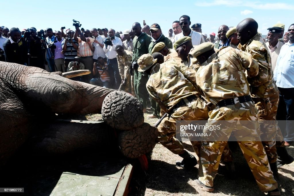 Kenya Wildlife Service rangers load a tranquillized elephant bull into an truck at the Lamuria, Nyeri county, on February 21, 2018 during the transfer of elephants from Solio, Sangare and Lewa to n...