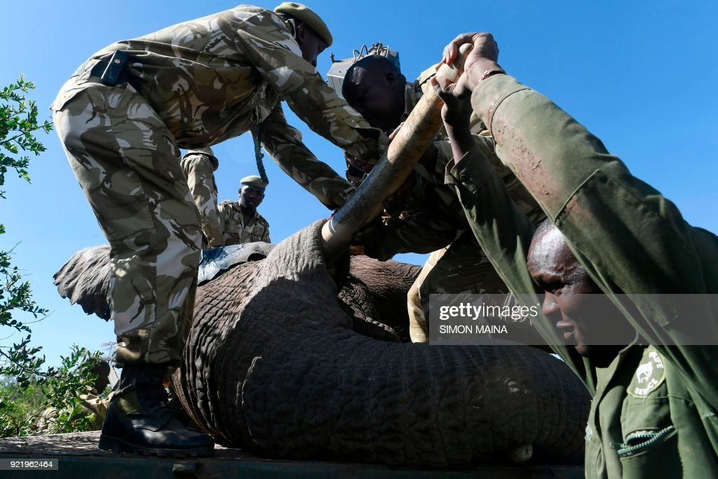 Kenya Wildlife Service rangers load a tranquillized elephant bull into an truck at the Lamuria, Nyeri county, on February 21, 2018 during the transfer of elephants from Solio, Sangare and Lewa to northern part of Tsavo East National Park in Ithumba. /