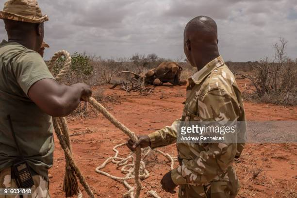 Kenya Wildlife Service rangers prepare a rope to help Sobo a male African Savannah Elephant after he was not able to stand up on his own after being...
