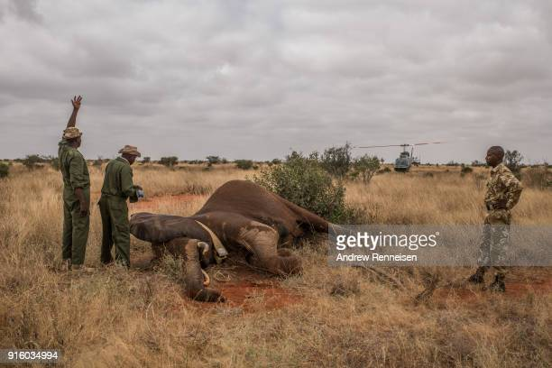 Kenya Wildlife Service rangers prepare to inject Dakota a female African Savannah Elephant with an antiserum to wake her from sedation during an...