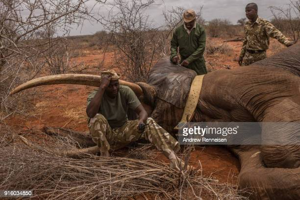 Kenya Wildlife Service rangers prepare to inject Sobo a male African Savannah Elephant with an antiserum to wake him from sedation during an elephant...