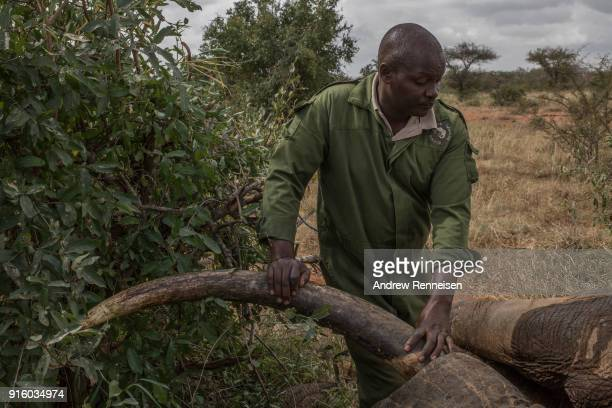 Kenya Wildlife Service veterinarian Dr Jeremiah Poghon leans on the tusk of Rob a male African Savannah elephant after he was sedated during an...