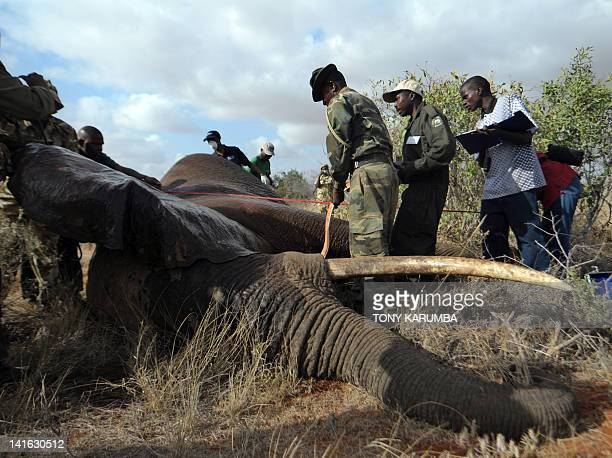 Kenya Wildlife Services and International Fund for Animal Welfare experts handle a sedated elephant on March 20, 2012 in the Tsavo-east National park...