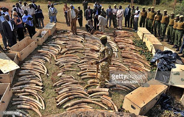 Kenya Wildlife Services director Julius Kipng'etich displays on August 23 an ivory haul seized overnight as it transited through Jomo Kenyatta...