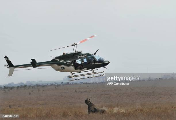 A Kenya Wildlife Services helicopter circles over a female Black Rhino defending her darted calf August 30 2017 at the Nairobi National Park during...