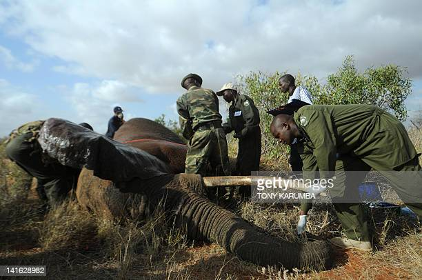 Kenya Wildlife Services, KWS, and International Fund for Animal Welfare, IFAW experts processes a sedated Elephant at the Tsavo-east National park on...