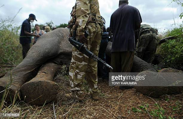 Kenya Wildlife Services, KWS, ranger stands guard as a sedated Elephant is processed and collared by experts at the Tsavo-east National park on March...