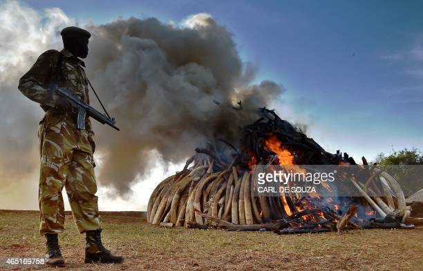 A Kenya Wildlife Services officer stands near a burning pile of 15 tonnes of elephant ivory seized in kenya at Nairobi National Park on March 3 2015...