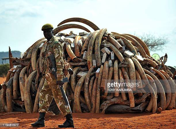 A Kenya Wildlife Services ranger guards an illegal ivory stockpile which is to be set ablaze at the Tsavo National Park on July 20 approximately 350...