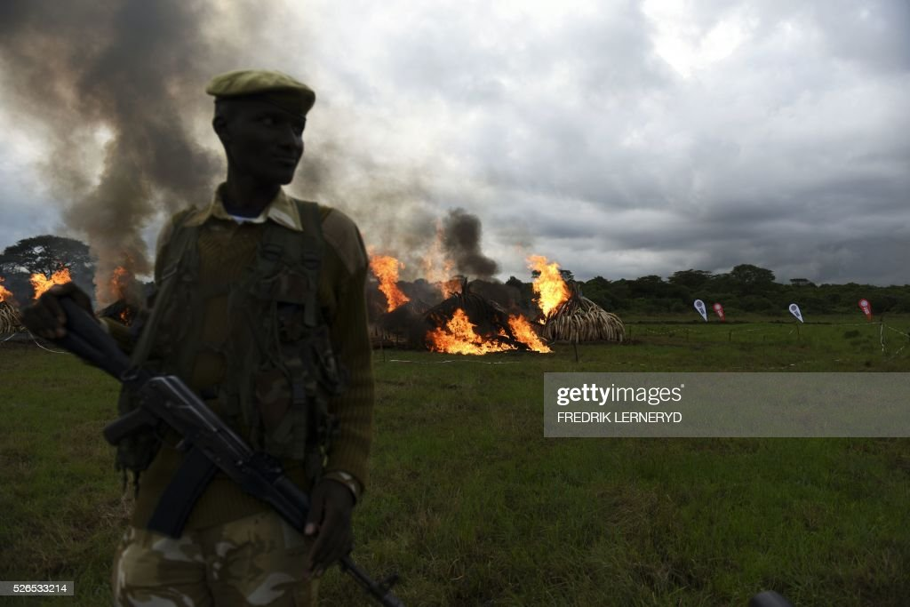 A Kenya Wildlife Services (KWS) ranger stands guard around illegal stockpiles of burning elephant tusks, ivory figurines and rhinoceros horns at the Nairobi National Park on April 30, 2016. Kenyan President Uhuru Kenyatta set fire on April 30, 2016, to the world's biggest ivory bonfire, after demanding a total ban on trade in tusks and horns to end 'murderous' trafficking and prevent the extinction of elephants in the wild. / AFP / FREDRIK