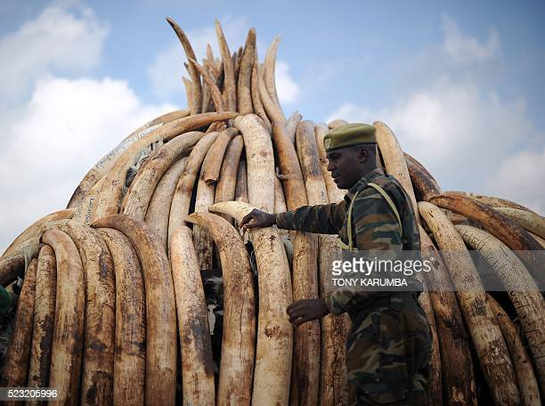 A Kenya Wildlife Services ranger stands guard by a stack of elephant tusks piled up onto pyres in preparation on April 22 2016 for a historic...