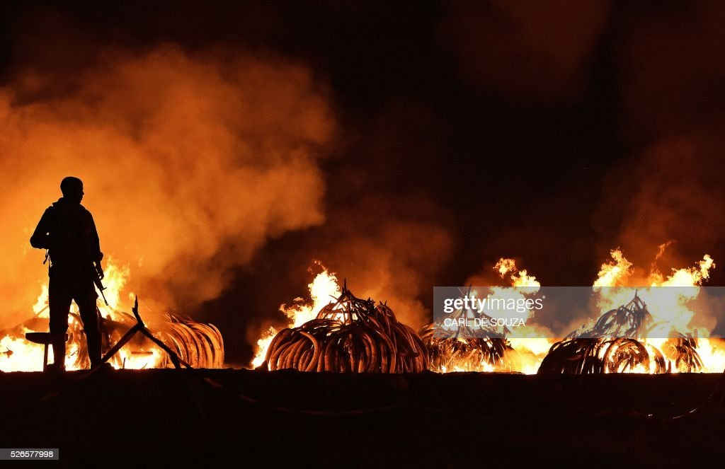 Kenya Wildlife Services (KWS) ranger stands guard in front illegal stockpiles of burning elephant tusks at the Nairobi National Park on April 30, 2016. Eleven giant pyres of tusks were set alight Saturday as Kenya torched its vast ivory stockpile in a grand gesture aimed at shocking the world into stopping the slaughter of elephants. Lighting the fire in Nairobi's national park, Kenyan President Uhuru Kenyatta demanded a total ban on trade in ivory to end the 'murderous' trafficking and prevent the extinction of elephants in the wild. /