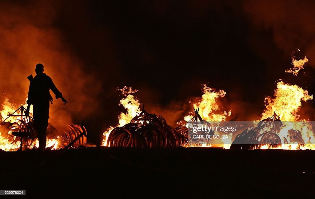 A Kenya Wildlife Services (KWS) ranger stands guard in front illegal stockpiles of burning elephant tusks at the Nairobi National Park on April 30, 2016. Eleven giant pyres of tusks were set alight Saturday as Kenya torched its vast ivory stockpile in a grand gesture aimed at shocking the world into stopping the slaughter of elephants. Lighting the fire in Nairobi's national park, Kenyan President Uhuru Kenyatta demanded a total ban on trade in ivory to end the 'murderous' trafficking and prevent the extinction of elephants in the wild. / AFP / CARL