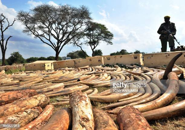 A Kenya Wildlife Services ranger stands guard over an ivory haul seized overnight as it transited through Jomo Kenyatta Airport in Nairobi on August...