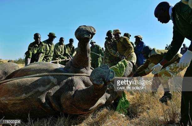 Kenya Wildlife Services rangers, vets and Lewa try to move a tranquilized wild female black rhino named Tupac at Lewa Wildlife conservancy on August...