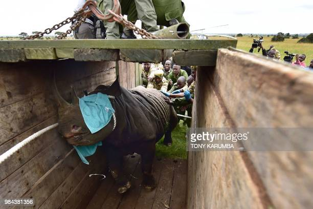 TOPSHOT Kenya Wildlife Services translocation team members assist to load a black male rhinoceros into a transport crate as one of three individuals...