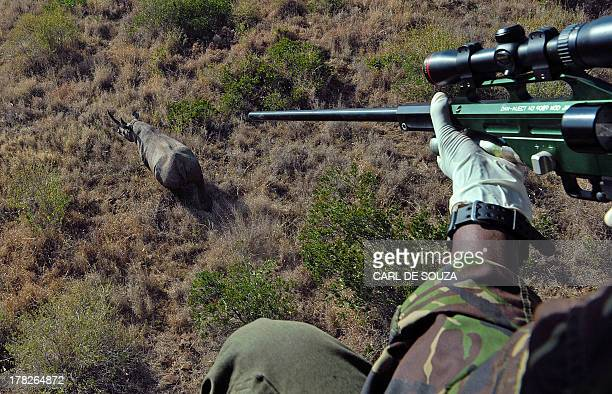 A Kenya Wildlife Services vet prepares to shoot a tranquilizer dart at a wild male black rhino named Sambu from a helicopter in Lewa conservancy on...