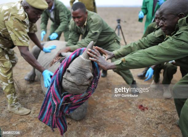 Kenya Wildlife Services veterinarians and security personnel attempt to calm a black-Rhino calf August 30, 2017 to complete an ear tagging procedure...