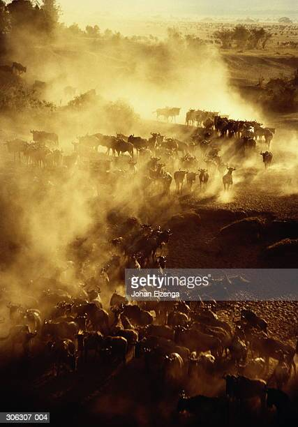 kenya,masai mara,herd of wildebeest stampeding towards river,dust clou - stampeding stock pictures, royalty-free photos & images