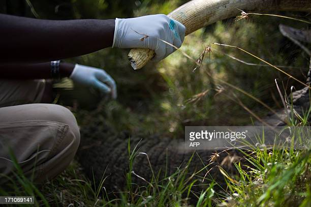 A Kenyan Wildlife Service officer holds the tusk of a sedated elephant on the edge of the Ol Pejeta conservancy in central Kenya on June 21 2013 Nine...