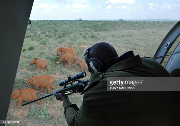 Kenyan Wildlife Services, KWS, veterinarian prepares to shoot a tranquilizer dart into an Elephant at the Tsavo-east National park on March 19, 2012...