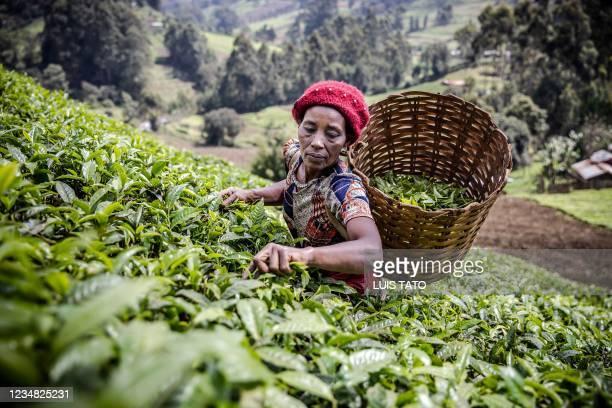 Kenyan woman picks tea leaves at a tea plantation in Mathioya Constituency, Muranga, Kenya on August 20, 2021. - Kenya's tea-farming industry is the...