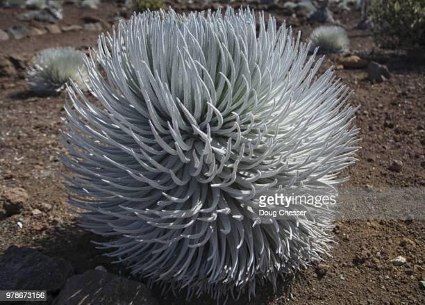 keokea,usa - argyroxiphium sandwicense - fotografias e filmes do acervo