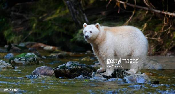 kermode (spirit) bear hunting for salmon in canada's great bear rainforest - blue bear stock photos and pictures