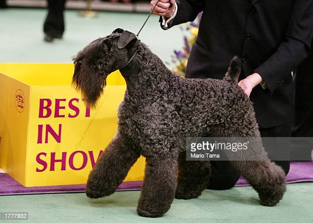 Kerry blue terrier Torums Scarf Michael commonly known as Mick poses after winning the Best of Show award on the final day of the 127th Westminster...