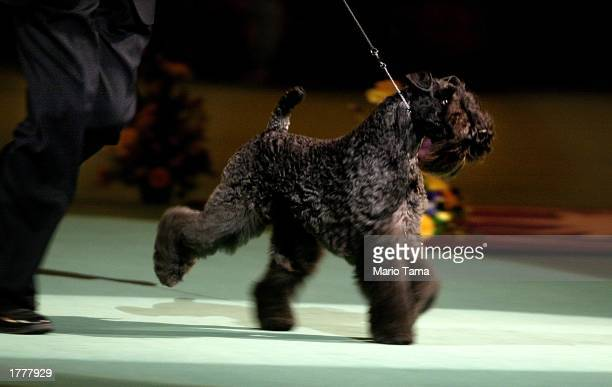 Kerry blue terrier Torums Scarf Michael commonly known as Mick runs on his way to winning the Best of Show award on the final day of the 127th...