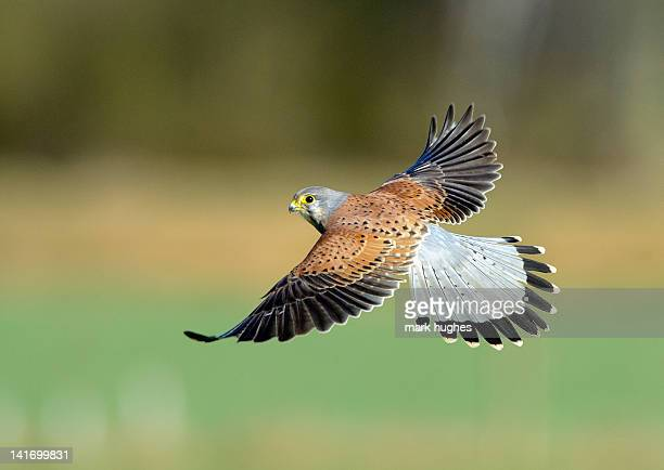 kestrel bird - hawk bird stock photos and pictures