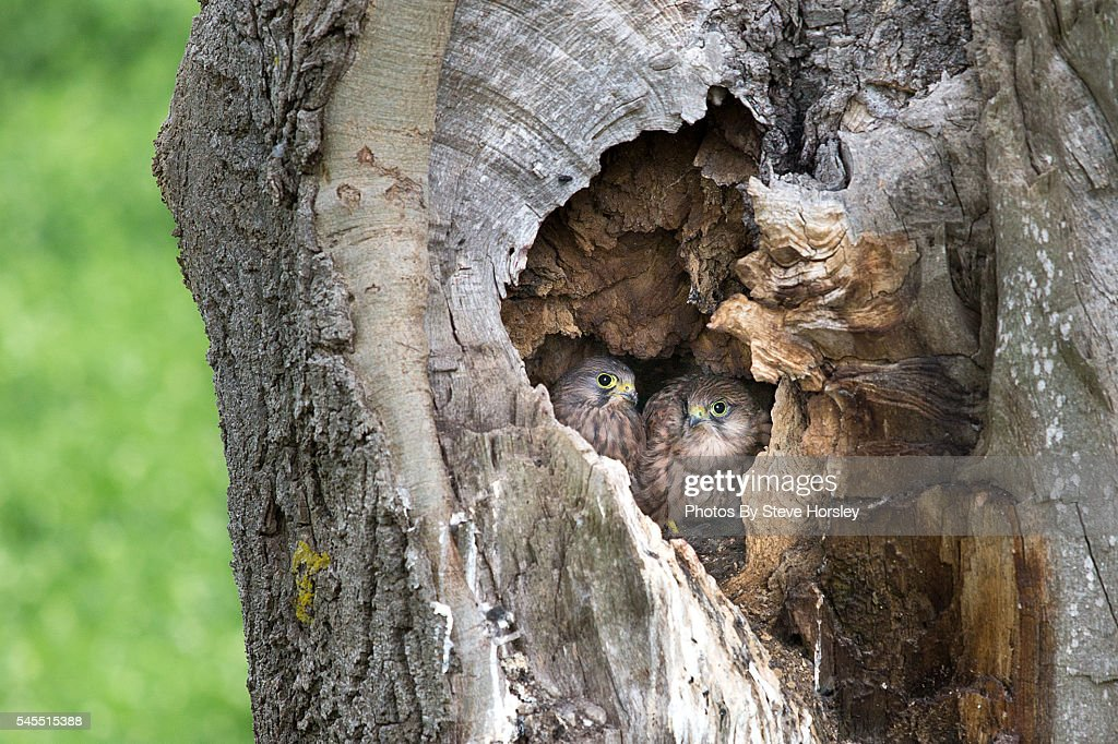 Kestrel Chicks Nesting : Stock Photo