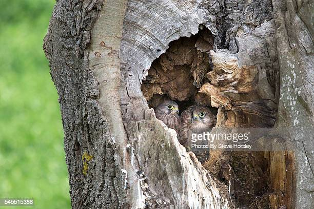 kestrel chicks nesting - hawk nest stock photos and pictures