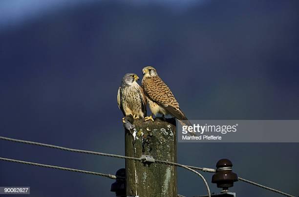 kestrel falco tinnunculus courtship feeding germany