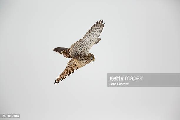 kestrel -falco tinnunculus-, hovering flight, bislicher insel, north rhine-westphalia, germany - insel stock pictures, royalty-free photos & images