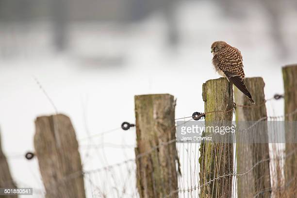 kestrel -falco tinnunculus-, perched on a fence post, bislicher insel, north rhine-westphalia, germany - insel stock pictures, royalty-free photos & images