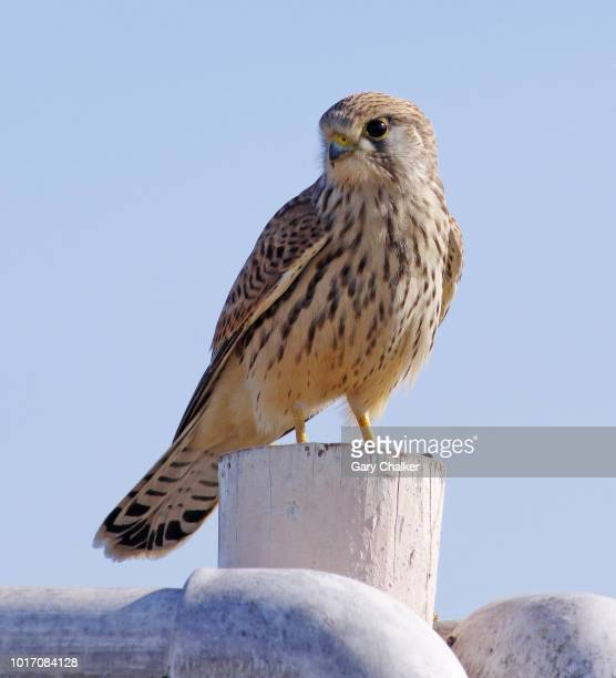 kestrel [falco tinnunculus] - birds_of_prey stock pictures, royalty-free photos & images