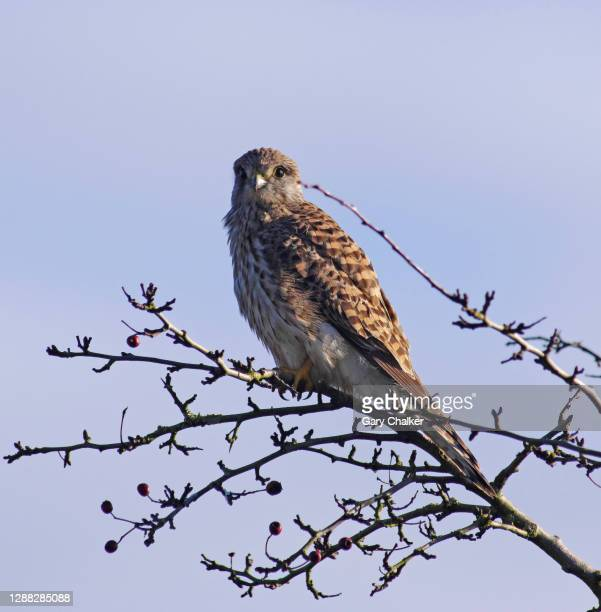 kestrel [falco tinnunculus] - animal limb stock pictures, royalty-free photos & images