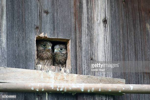 kestrel -falco tinnunculus-, young, nearly fledged, at the nesting hole, allgaeu, bavaria, germany, europe - hawk nest stock photos and pictures