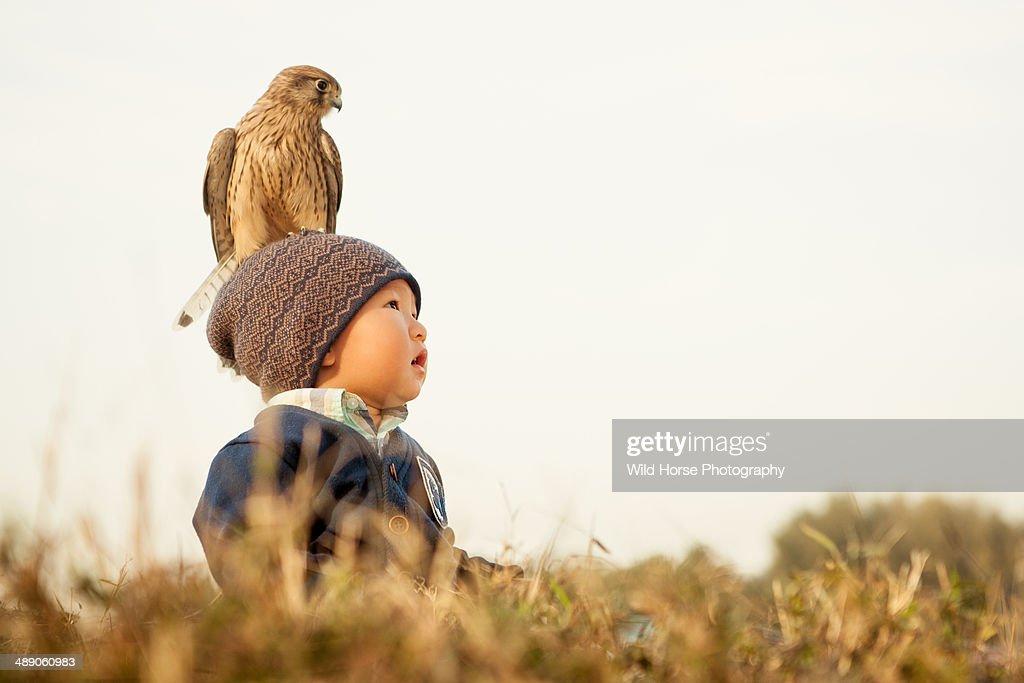 kestrel falcon on the little boy's head : Stock Photo