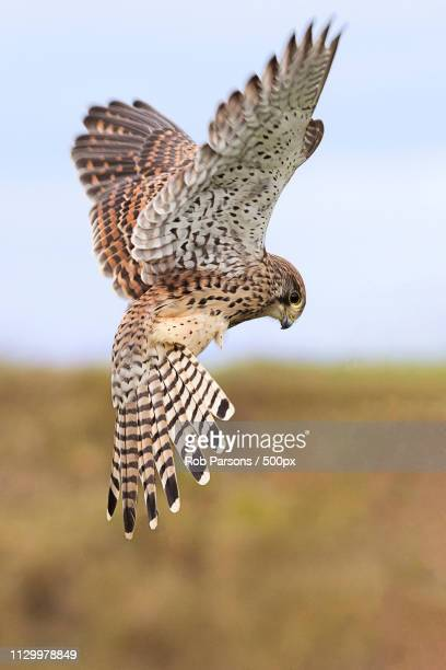 kestrel hovering - hovering stock photos and pictures