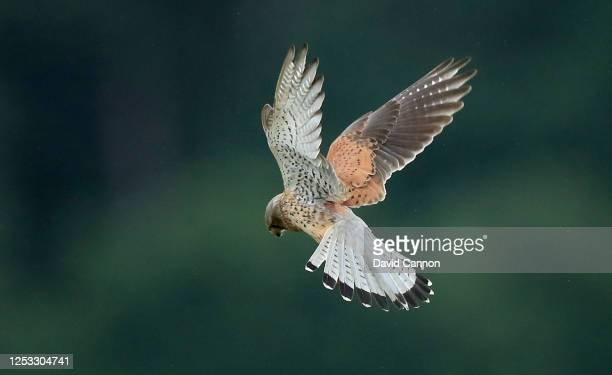 Kestrel hovers over the rough near the clubhouse during the Clutch Pro Tour Major at Hollinwell Golf Club on June 29, 2020 in Kirkby in Ashfield,...
