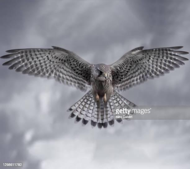 a kestrel hunting prey. - alex saberi - fotografias e filmes do acervo
