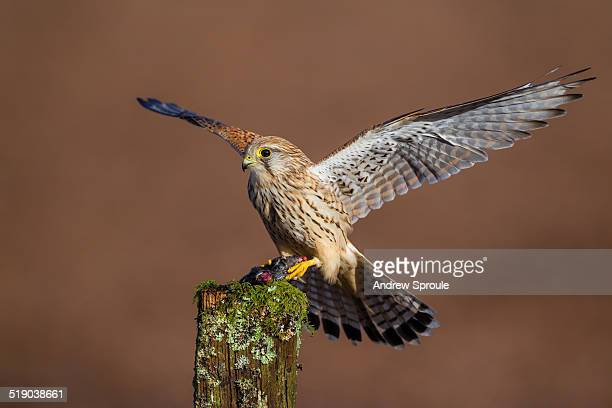 kestrel landing on a post - field mouse stock photos and pictures