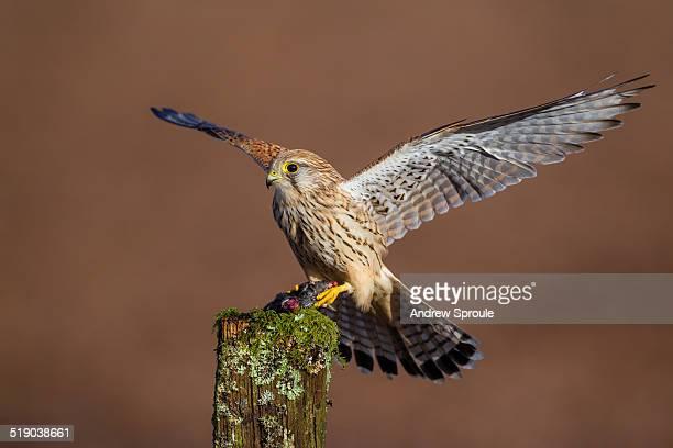 Kestrel landing on a post